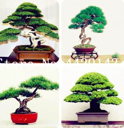 Best Bonsai Plants for Zen Buddhists